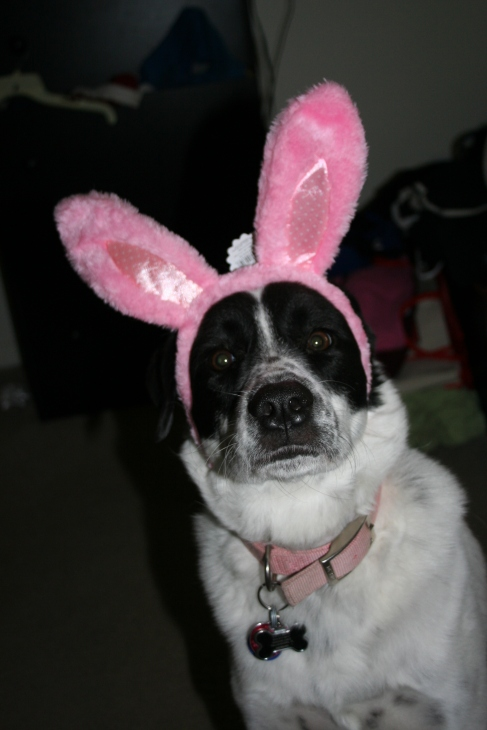 Rescued Border Collie mix, Lana, with Easter bunny ears | DreamBigBarkLoudly.com