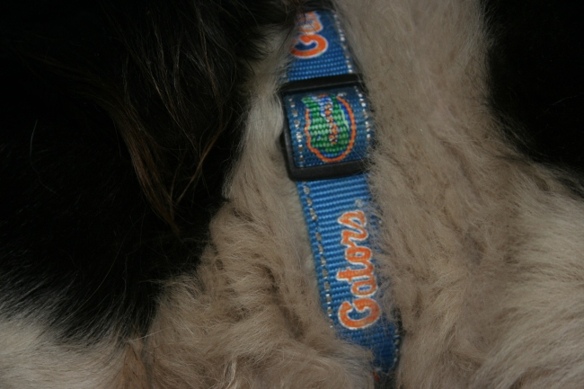 Gator Collar | Dream Big, Bark Loudly