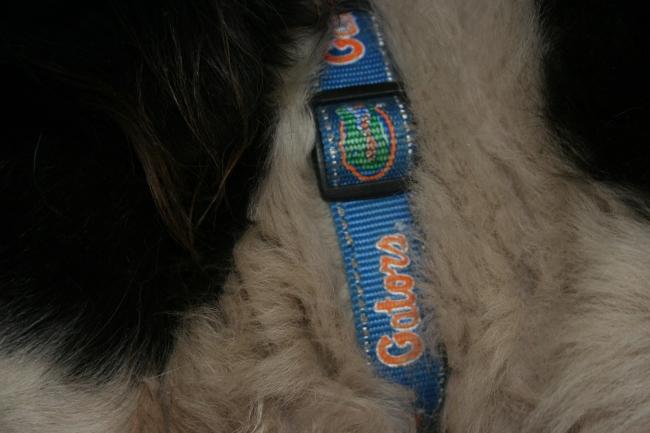 Gator Collar   Dream Big, Bark Loudly