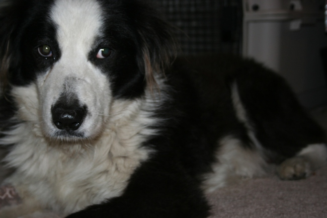 Brody, the Adoptable Aussie   Dream Big, Bark Loudly