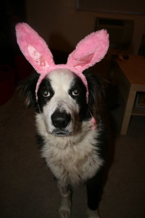 Fostered Aussie, Brody, with Easter bunny ears   DreamBigBarkLoudly.com