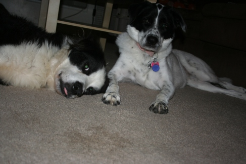 Brody the fostered Aussie and Lana the rescued mutt
